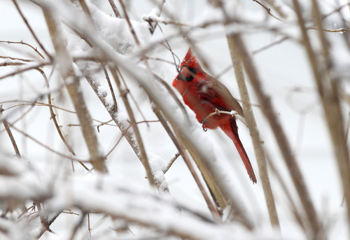 A cardinal perches on a bare tree branch as snow falls on Monday, March 3, 2014 in Charlottesville, Va. Winter kept its icy hold on much of the country Monday, with snow falling and temperatures dropping.  (AP Photo/The Daily Progress, Ryan M. Kelly)