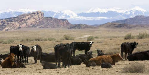 Al Hartmann   |  The Salt Lake Tribune  In this file photo, cattle graze on public land in Utah.