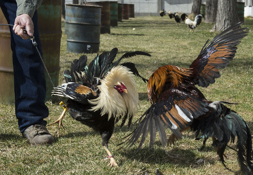 Keith Johnson | The Salt Lake Tribune  Tim Fitzgerald demonstrates the natural instinct of male roosters to fight one another for dominance at his home in Bluffdale, Utah, March 3, 2014. Fitzgerald is an advocate to legalize cock fighting in Utah.