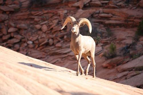 Courtesy Zion National Park The desert bighorn sheep population in Zion National Park spills onto Bureau of Land Management lands just south of the park. The herd has grown fast in recent years and plans are being formulated to capture and relocate sheep from the park to other Utah locations.