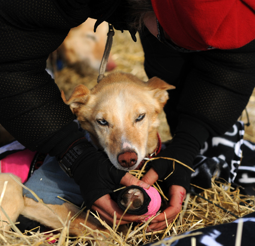 Iditarod musher Aliy Zirkle, from Two Rivers, Alaska, works with her dog team at the White Mountain checkpoint during the 2014 Iditarod Trail Sled Dog Race on Monday, March 10, 2014. Zirkle has her out time for the checkpoint written on her finger. (AP Photo/The Anchorage Daily News, Bob Hallinen)