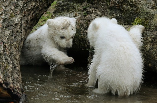 Two 14-week old polar bear twins explore their enclosure at the Hellabrunn zoo in Munich, Germany, Wednesday, March 19, 2014. The cubs who were born on Dec. 9, 2013 were presented to the public for the first time. (AP Photo/dpa, Stephan Jansen)