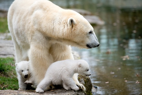 Two 14-week old polar bear twins and their mother Giovanna explore their enclosure at the Hellabrunn zoo in Munich, Germany, Wednesday, March 19, 2014. The cubs who were born on Dec. 9, 2013 were presented to the public for the first time. (AP Photo/dpa, Sven Hoppe)
