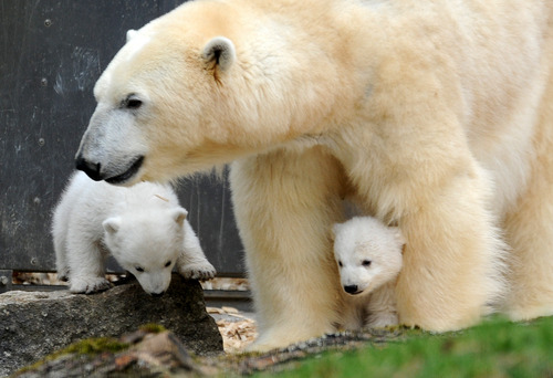 Two 14-week old polar bear twins and their mother Giovanna explore their enclosure at the Hellabrunn zoo in Munich, Germany, Wednesday, March 19, 2014. The cubs who were born on Dec. 9, 2013 were presented to the public for the first time. (AP Photo/dpa, Andreas Gebert)
