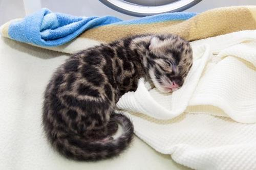 Charlotte Bassin  |  The Denver Zoo  A clouded snow leopard cub takes a nap at the Denver Zoo.