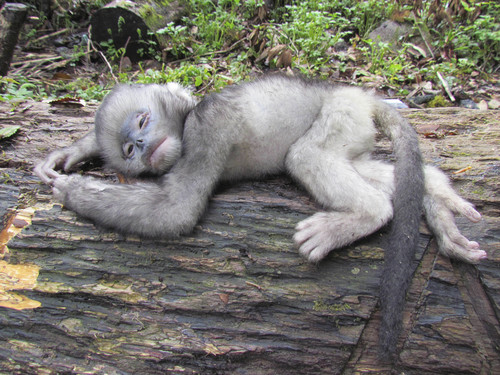 In this April 22, 2011 photo released by Fauna & Flora International Tuesday, April 1, 2014 for editorial use, an infant snub-nosed monkey perishes from injuries after falling off a tree when hunters shot its mother in Sawlaw, northern Kachin State, Myanmar. The British-based conservation group said Tuesday illegal Chinese logging and demand for monkey bones are threatening the Myanmar snub-nosed monkey, a rare monkey species in northern Myanmar. (AP Photo/Jeremy Holden, Fauna & Flora International)