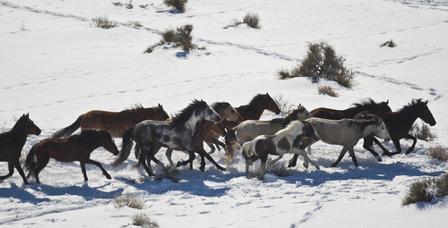Chris Detrick  |  The Salt Lake Tribune Wild horses are rounded up near the Swasey Mountains in Utah on Feb. 14,  2013. Of the 257 horses gathered, nearly 100 ó many of them mares treated with a contraceptive ó were returned to the range. Others were adopted or held in captivity. The federal Bureau of Land Management is charged with managing the estimated 36,000 wild horses roaming 10 Western states.