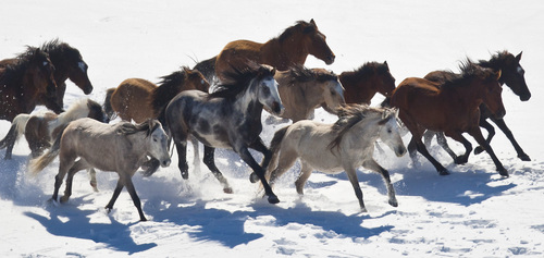 Chris Detrick  |  The Salt Lake Tribune Wild horses from Utah's Swasey herd are rounded up by Cattoor Livestock Roundup Co in the West Desert near the Swasey Mountains in February 2013.The Bureau of Land Management has announced that it will again round up wild horses.