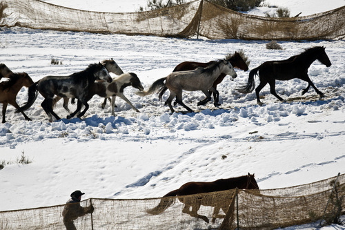 Chris Detrick  |  The Salt Lake Tribune Wild horses are rounded up near the Swasey Mountains in Utah on Feb. 14,  2013. Of the 257 horses gathered, nearly 100 -- many of them mares treated with a contraceptive -- were returned to the range. Others were adopted or held in captivity. The federal Bureau of Land Management is charged with managing the estimated 36,000 wild horses roaming 10 Western states.