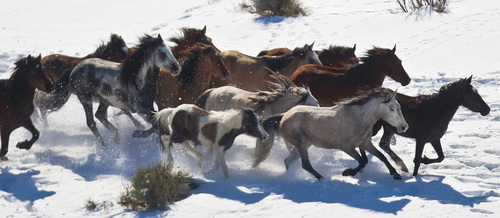 Chris Detrick  |  The Salt Lake Tribune Wild horses from Utah's Swasey herd are rounded up by Cattoor Livestock Roundup Co in the West Desert near the Swasey Mountains Thursday February 14, 2013. Under the Bureau of Land Management operation 50 miles west of Delta, helicopter wranglers will gather 262 horses. One hundred will be released back into the Swasey Herd Management Area -- one of Utah's 19 HMAs on federal land. Many of the horses released will be mares treated with the contraceptive Porcine Zona Pellucida (PZP-22).