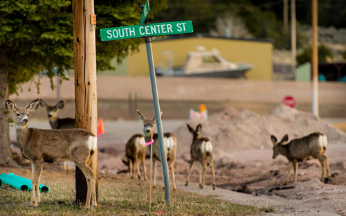 Trent Nelson  |  The Salt Lake Tribune Deer along South Center Street in Dutch John, Thursday, March 20, 2014.