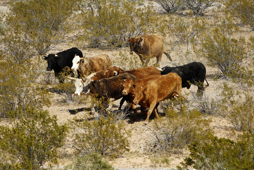 "John Locher |  The Associated Press The Bureau of Land Management calls cattle belonging to Cliven Bundy, below, ""trespass cattle"" that rancher Cliven Bundy has been grazing in the Gold Butte area 80 miles northeast of Las Vegas."