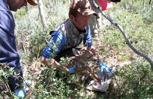 Francisco Kjolseth  |  The Salt Lake Tribune Eric Freeman, field research coordinator and grad student at BYU, uses a pillow case to gently weigh a recently born fawn. Concerns over Utah's declining mule deer population has led to a 4-year fawn mortality research project on the Monroe Mountains near Koosharem.