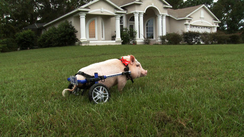 Chris P. Bacon the pig on a lawn, Sumterville, Fla. Courtesy  |  Kevin Bachar