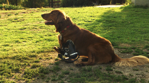 Roofus the dog sitting on lawn with his prosthetics on. Courtesy  |  Andy Seestedt