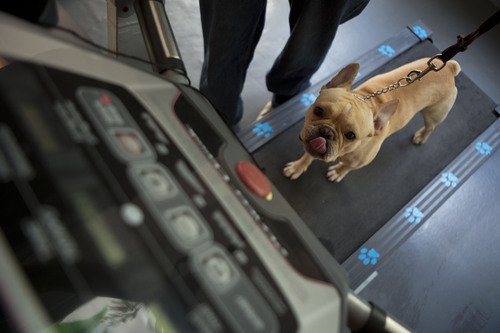 In this Thursday, April 10, 2014 photo, French bulldog Dago, gets a workout on a treadmill with trainer Israel Martinez, at the Pet Central spa in Mexico City. 'Today people invest in their dog,' said animal behaviorist Renan Medina, one of the founders of MEDICAN, Mexico's first animal hospital with a hyperbaric chamber, used to accelerate the healing of wounds and infections. (AP Photo/Rebecca Blackwell)