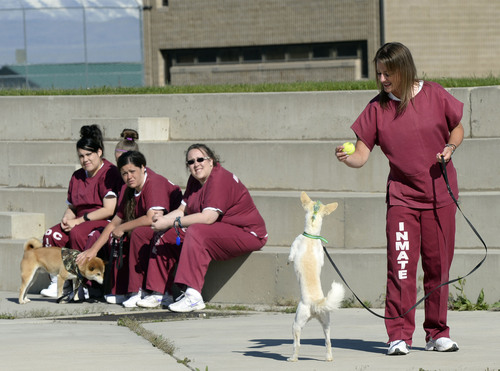 Al Hartmann  |  The Salt Lake Tribune Inmates in the Pawsitive Program at the Timpanogos Women's prison play ball and work with their dogs in the yard. The program teaches inmates how to train and socialize shelter dogs with positive reinforcement to become therapy and service animals, often for soldiers with PTSD.