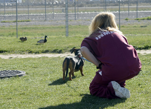 Al Hartmann  |  The Salt Lake Tribune Timpanogos women's prison inmate Tifffany Baker stops to look at a couple of ducks with her dog, Star. They are in the Pawsitive Program, which trains and socializes shelter dogs to become therapy and service animals often for soldiers with PTSD. Inmates in the program take classes on how to train and socialize the dogs using positive reinforcment techniques.