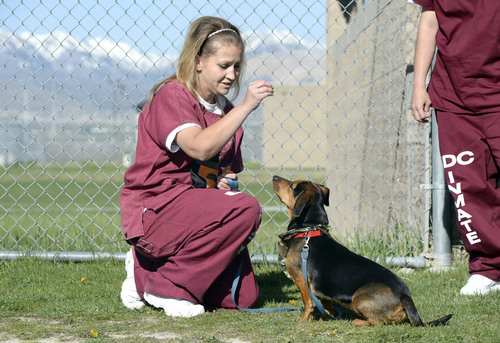 Al Hartmann  |  The Salt Lake Tribune Tifffany Baker, an inmate at Timpanogos women's prison at the Utah State Prison, works with her dog, Star, in the Pawsitive Program, which trains and socializes shelter dogs to become therapy and service animals often for soldiers with PTSD. Inmates in the program take classes on how to train and socialize the dogs using positive reinforcment techniques.