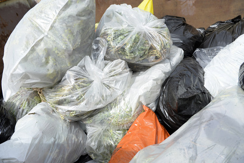 """Rick Egan     The Salt Lake Tribune  Bags of Myrtle Spurge turned in at REI, during the 8th annual """"Purge Your Spurge"""" event, Saturday, May 3, 2014.  There were also cleanups at Dimple Dell Park and the Bonneville Shoreline Trail at the base of Grandeur Peak."""
