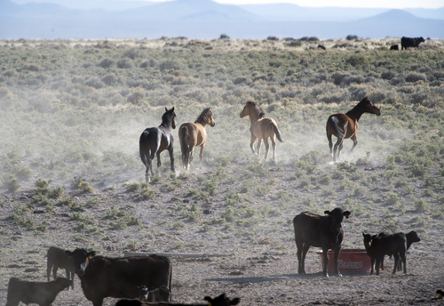 Rick Egan  |  The Salt Lake Tribune  Wild horses roam with cattle on BLM land northwest of Cedar City, Wednesday, April 23, 2014.