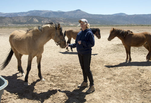 "Rick Egan  |  The Salt Lake Tribune  Ginger Grimes says she could take in 10 wild horses if Iron and Beaver counties round them up this summer. The founder and operator of the Dust Devil Ranch Sanctuary for Horses south of Cedar City, Grimes already has several mustangs rescued from their previous owners. ""I want to be part of the solution,"" says Grimes on, Thursday, April 24, 2014."