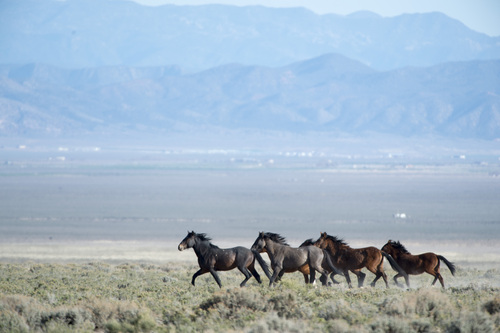 Rick Egan  |  The Salt Lake Tribune  Wild horses roam on BLM land at the north end of the Escalante Valley 60 miles west of Cedar City,  Wednesday, April 23, 2014.  Iron and Pine Valley Mountains are in the rear.