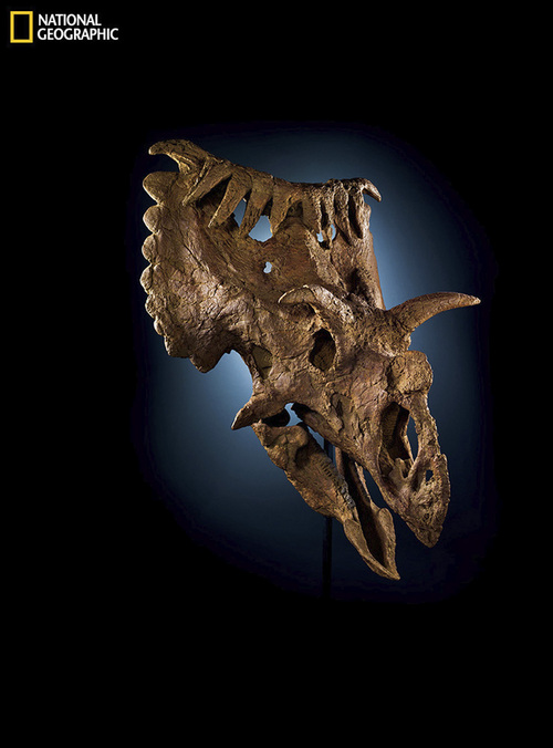 Photograph by Cory Richards  |  Natural History Museum of Utah  Kosmoceratops richardsoni, a rhino-size plant-eater that lived on Laramidia, had five horns around its face and ten on the rear of the fanlike frill. Potential mates may have been impressed. Image from the May issue of National Geographic magazine. http://ngm.nationalgeographic.com/2014/05/utah-dinosaurs/richards-photography