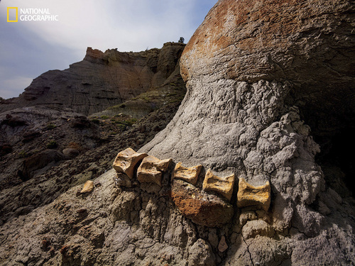 Photograph by Cory Richards Exposed by wind and rain, a two-foot-long segment of a duck-billed dinosaur tail remains embedded in sandstone in the Kaiparowits formation. Image from the May issue of National Geographic magazine. http://ngm.nationalgeographic.com/2014/05/utah-dinosaurs/richards-photography
