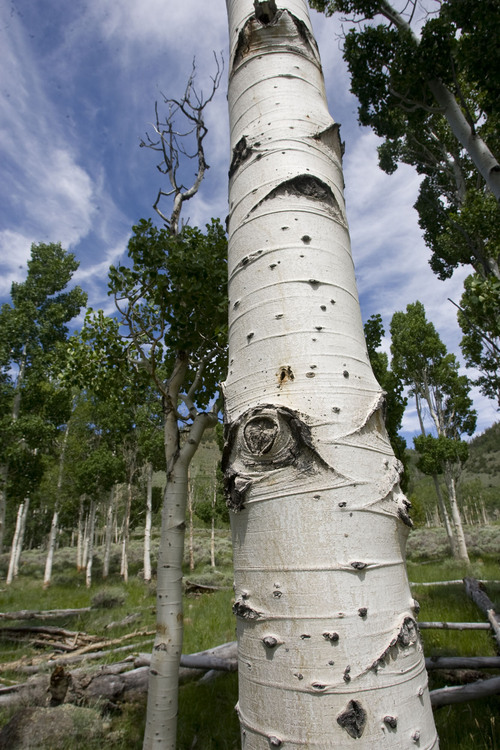 Al Hartmann  |  The Salt Lake Tribune Aspen trees in the Pando Clone, an area of over 100 acres of trees that make up the world's largest living organism near Fish Lake in Central Utah.   The Pando Clone is not regenerating (sprouting small trees) making its continued existence in question.
