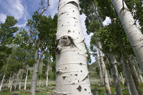 Al Hartmann  |  Tribune file photo Aspen trees in the Pando Clone, an area of over 100 acres of trees that make up the world's largest living organism near Fish Lake in Central Utah.   The Pando Clone is not regenerating (sprouting small trees) making its continued existence in question.