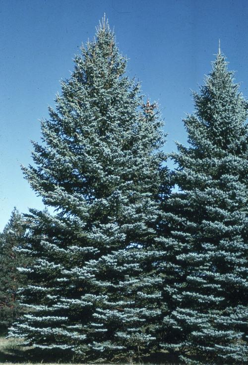 Mike Kuhns  |  Courtesy Utah State University  A blue spruce tree.