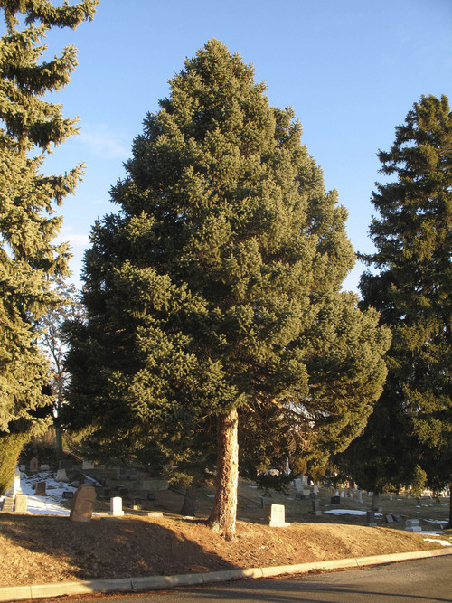 Blue spruce.  Courtesy Mike Kuhns Mike Kuhns Professor and Extension Forester  Department of Wildland Resources 5230 Old Main Hill Utah State University Logan, UT 84322-5230 435-797-4056 mike.kuhns@usu.edu extension.usu.edu/forestry