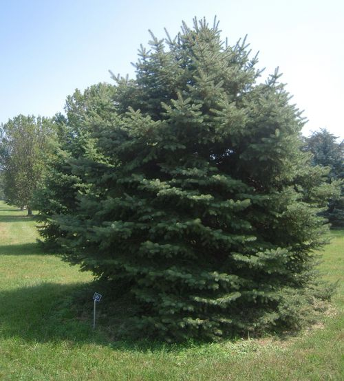 Thomas Burr |  Tribune file photo           A blue spruce representing Utah's official tree lies on the edge of the grove of state trees at the National Arboretum in Washington.The arboretum says they'll give Utah's new state tree, the quaking aspen, a home.