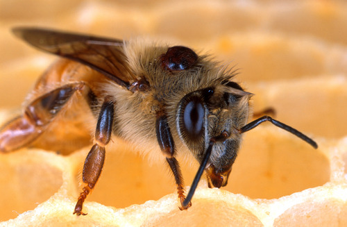 This undated handout photo provided by the Agriculture Department shows the deadly parasitic Varroa mite on the back of this honey bee is one of many insect pests that sugar esters may be useful in controlling. Sucrose octanoate, a sugar ester, can kill the mite without harming the bee. Nearly one out of four American honeybee colonies died this winter, but that's not quite as bad as recent years, says a new U.S. Department of Agriculture survey of beekeepers. Under siege from parasites, disease, pesticide use, nutrition problems and a mysterious sudden die-off, 23 percent of bee colonies failed and experts say that's considerably less than the previous year or the eight-year average of 30 percent losses. (AP Photo/Scott Bauer, Agriculture Department)