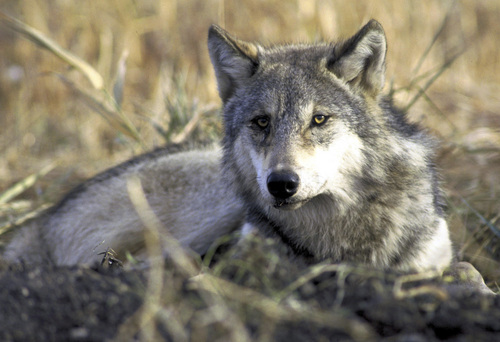New research from Yellowstone National Park and Utah State University shows wolves compete with and kill each other when populations are too dense. A gray wolf is shown resting in tall grass in this file photo provided by the U.S. Fish and Wildlife Service. (AP Photo/US Fish & Wildlife, File)