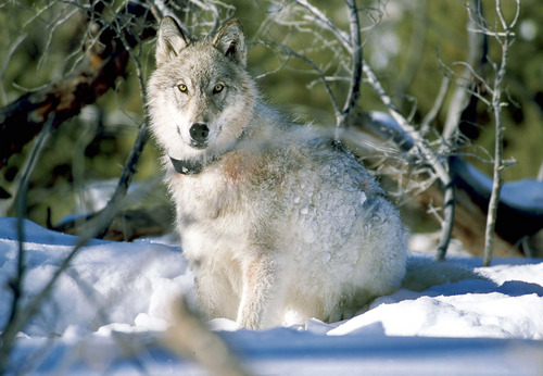 A gray wolf watches biologists in Yellowstone National Park, Wyo., after being captured and fitted with a radio collar in this January 2003 file photo provided by the U.S. Fish and Wildlife Service. New research from Utah State University shows wolves raid rival packs and kill each other's pups when the predators are too close together. (AP Photo/ U.S. Fish and Wildlife Service, William Campbell).