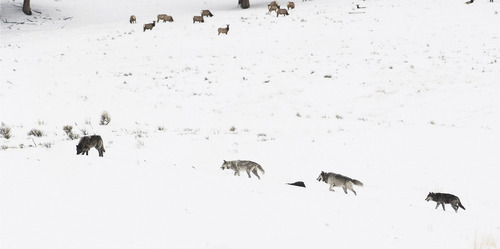 Wolves raid rival packs and kill each other's pups when the predators' population numbers grow even if food is abundant, according to new research from a Utah State University scientist and colleagues.  In this file photo, Wolf 253 (far right) takes up the rear with other members of the Druid pack in the Little America area of Yellowstone National Park.  photo courtesy Kim Kaiser