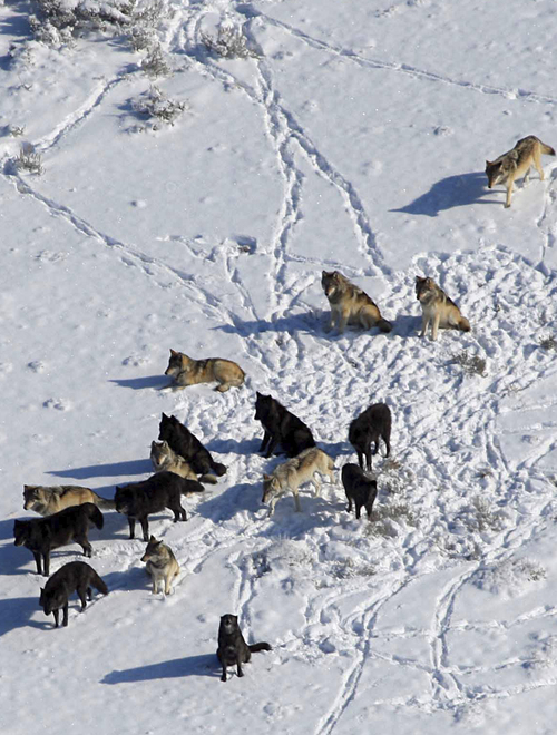 | Courtesy Dan Stahler National Park Service Wolves raid rival packs and kill each other's pups when the predators' population numbers grow even if food is abundant, according to new research from a Utah State University scientist and colleagues.