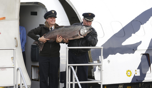 Alaska Airlines Capt. David Boshell, right, kisses the 48 lb. Copper River King Salmon he carried out of his plane along with first officer Melissa Van Dyke, left, Friday, May 16, 2014, after a flight from Cordova, Alaska to the Alaska Airlines Cargo facility in Seatac, Wash., near Seattle. The cargo flight carried the first shipment of the year of Copper River salmon, which are highly prized for their oil content and flavor. (AP Photo/Ted S. Warren)
