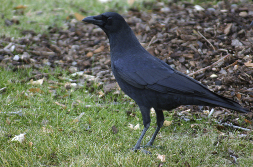 Courtesy Scott Root     Utah Division of Wildlife Resources The American crow, like this one spotted in Provo, could be hunted in Utah if a proposal from the state wildlife agency is approved by the Utah Wildlife Board.