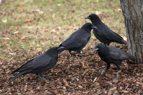Courtesy Scott Root     Utah Division of Wildlife Resources American crows, like these spotted in Provo, could be hunted in Utah if a proposal from the state wildlife agency is approved by the Utah Wildlife Board.