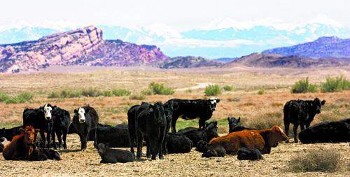 Al Hartmann   |  Tribune file photo In this file photo, cattle graze on public land in Utah.