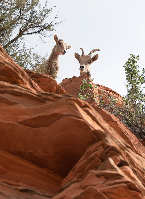 Franciso Kjolseth  |  The Salt Lake Tribune A group of desert bighorn sheep near the Checkerboard Mesa in Zion National Park hang out near the road  in April of 2014. Recently volunteers at the park witnessed a remote controlled drone flying close to a herd on the eastern side of the park.