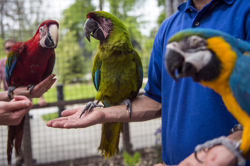 Chris Detrick  |  The Salt Lake Tribune Rousseau, a Green Winged Macaw, Picasso, a Blue and Gold Macaw, and Da Vinci, a Great Green Macaw, in the new macaw exhibit at the Tracy Aviary Friday May 16, 2014. The King Vulture and Macaw exhibit will be open for Memorial Day weekend.