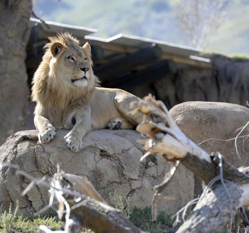 Al Hartmann  | Tribune file photo A young male lions explores Hogle Zoo's Lions' Hill within the larger African Savannah exhibit.