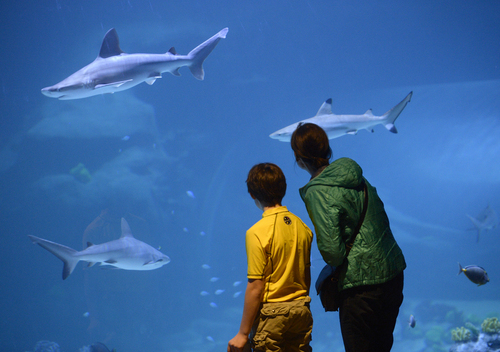 Al Hartmann  |  Tribune file photo People watch as sharks swim by just inches away in the Shark Tank at the Loveland Living Planet Aquarium.