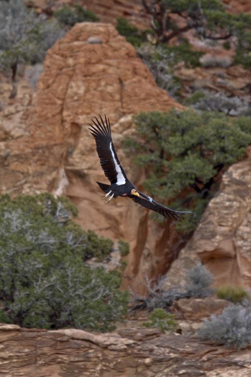 Chris Parish | Courtesy The Peregrine Fund An adult California condor from the Arizona/Utah population.