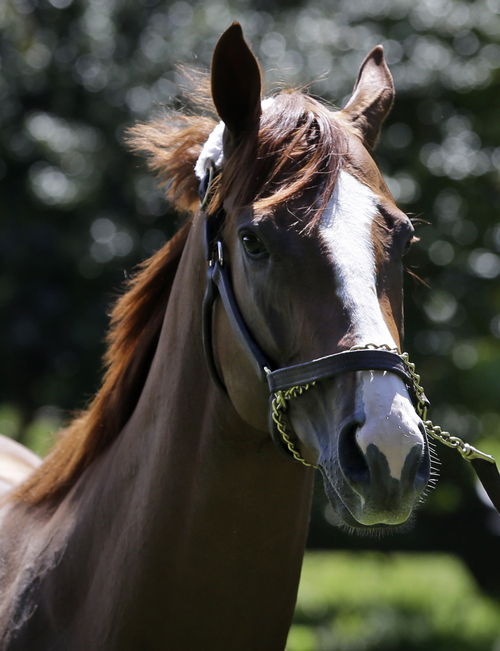 Triple Crown hopeful California Chrome is walked outside of his stall after arriving at Belmont Park in Elmont, N.Y., Tuesday, May 20, 2014. (AP Photo/Seth Wenig)