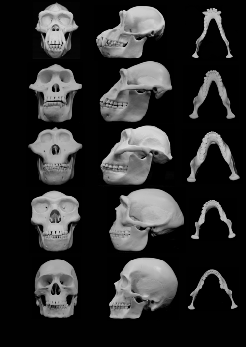 (Courtesy University of Utah) Skull reconstructions  comparing chimpanzees (top skull) to three hominins, with modern man at the bottom.